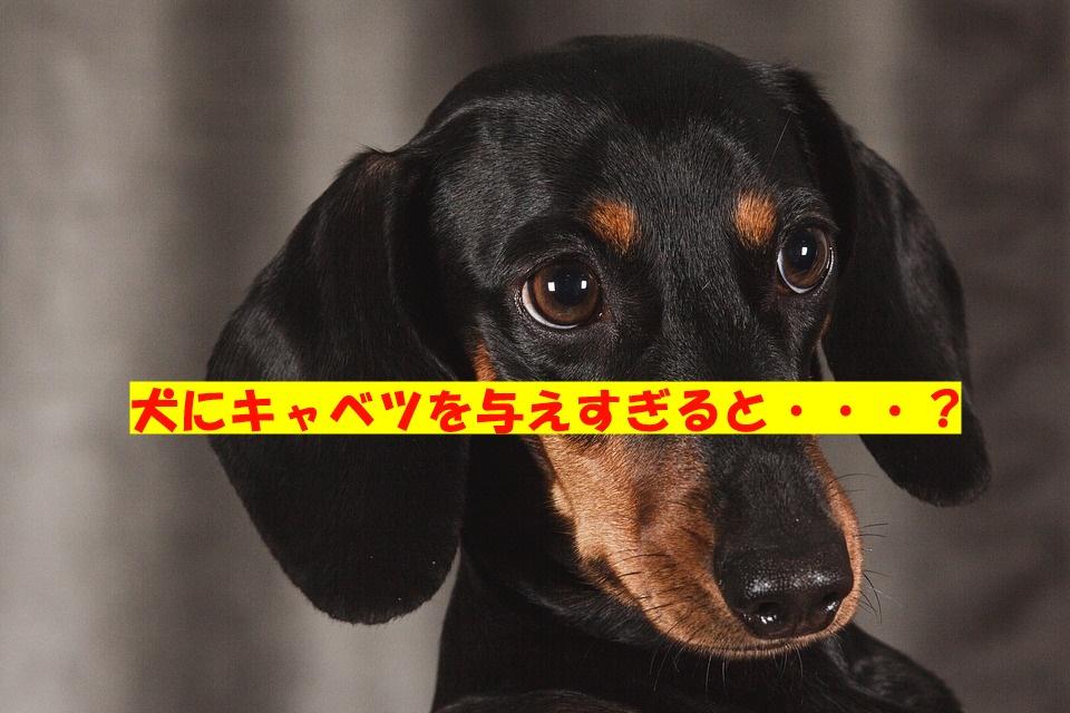 愛犬にキャベツを食べさせすぎると良くない理由☆栄養や注意点を解説!